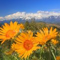 Balsamroot wildflowers overlooking the Enchantments Leavenworth Washington