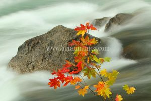 Fall vine maple along Tumwater canyon Wenatchee river Leavenworth Washington