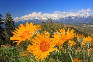Balsamroot wildflowers overlooking the Enchantments Leavenworth Washington