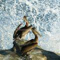 Young Brown Pelicans La Jolla Cove La Jolla CA